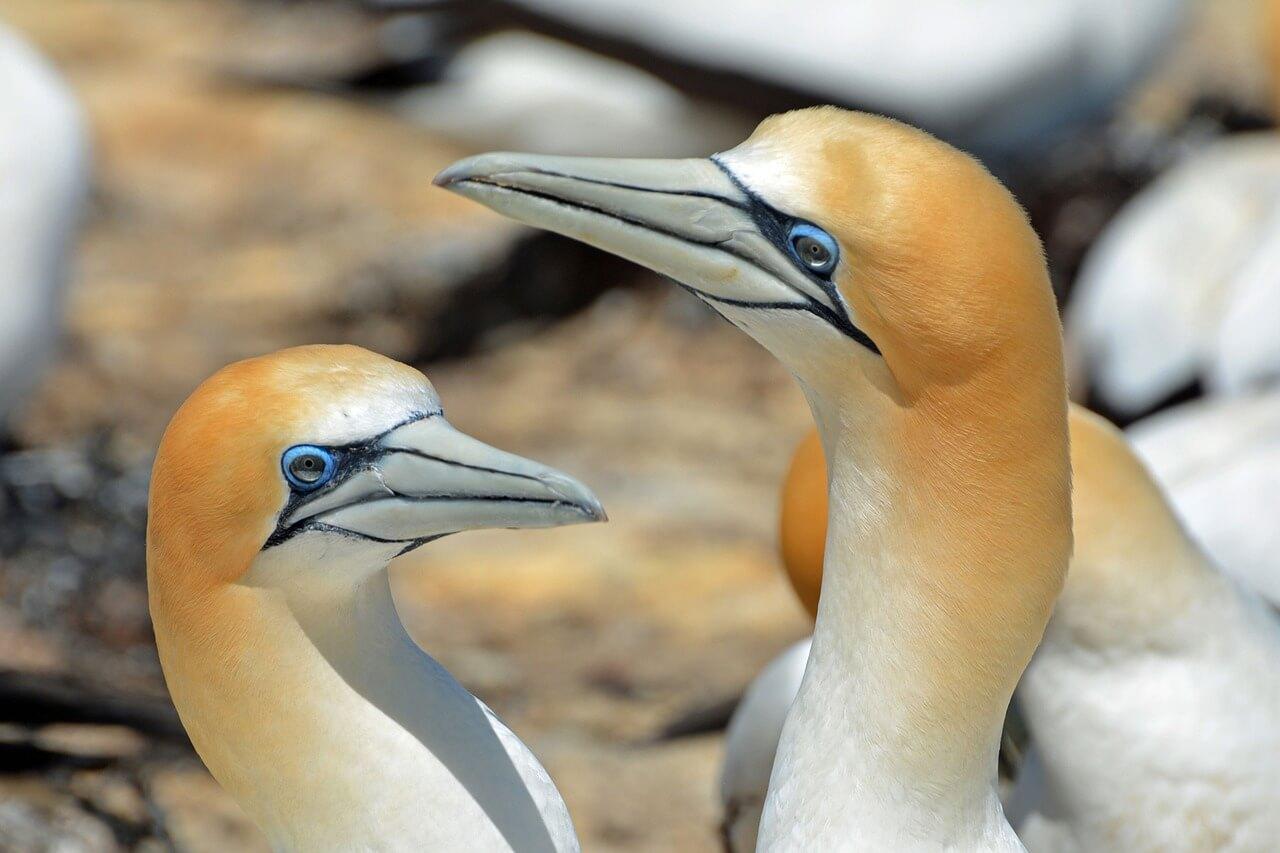 northern-gannet-1126292_1280